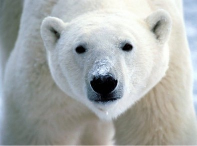 Looks real? Nope.  Totally fake.  Fake polar bear.