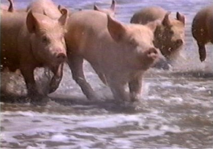 pigs-at-the-beach