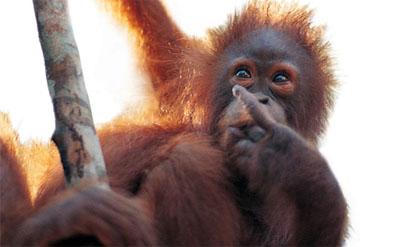 orangutan2-copy