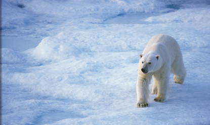 Polar-Bear-Tours-Churchill-polar-bear-ice-snow
