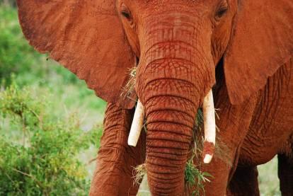 red elephant elephants tsavo kenya africa 14