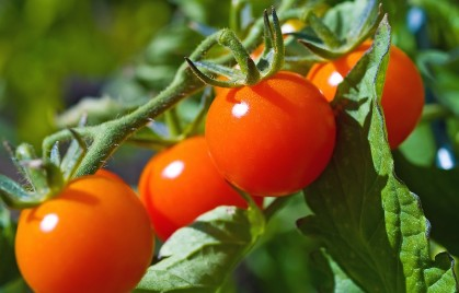 bigstock_Red_Ripe_Tomatoes_On_The_Vine_6056339