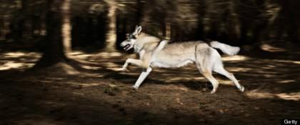 r-WOLF-RUNNING-large570