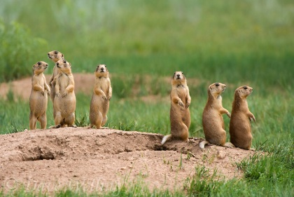 the utah prairie dog cynomys parvidens is a federally threatened mammal species found only in parts of souther Utah