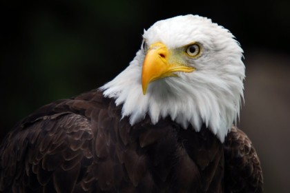 Bald-Eagle-Wallpaper-640x428