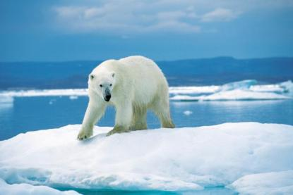 polar_bear20