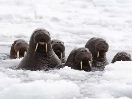 1412161700000-AP-Pacific-Walrus