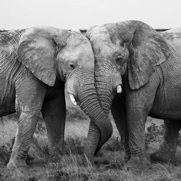 Valentines Elephants