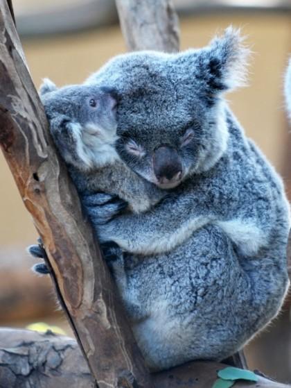 mom and baby koalas