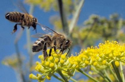 honeybees2